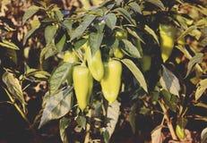 Usines vertes de paprika s'élevant en serre chaude Photos stock