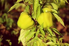 Usines vertes de paprika s'élevant en serre chaude Images stock