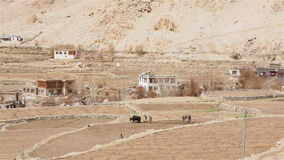 Using animal to plow the field. In Leh, Ladakh, India stock footage