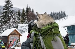 Idea for transporting large dog on a ski lift. Using a backpack as a carrying case for the large dog, the focus is on the backpack; Idea for transporting large stock photography