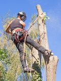 Using a chainsaw at a tree top. Female tree surgeon using a chainsaw at a tree top royalty free stock photo