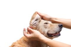 Clean dog`s ear. Using cotton swabs to clean dog`s ear / Pet care concept Royalty Free Stock Photo