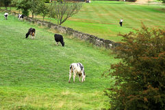 Using the Countryside. Cows in a field alongside people on a golf course Stock Photo