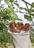 Using fruit picking stick in apple orchard, close up Stock Photos