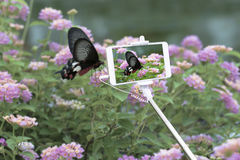 Using smartphone to take photograph. Using smartphone to take photograph on butterfly in the garden Royalty Free Stock Photos