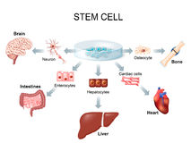 Using stem cells to treat disease. Stem cell application. Using stem cells to treat disease Stock Image
