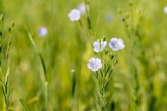 Usitatissimum de Linum del lino que florece en el campo Imagen de archivo libre de regalías