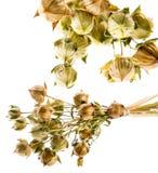 Usitatissimum seco de Linum da planta do linho Foto de Stock