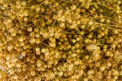 Usitatissimum seco de Linum da planta do linho Foto de Stock Royalty Free