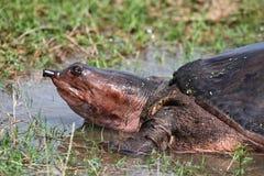 Łuskający żółw Obrazy Royalty Free