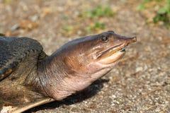 uskorupiony miękki żółw Obraz Royalty Free
