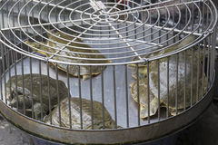 uskorupiony miękki żółw obrazy stock