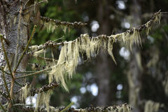 Usnea barbata, old man's beard on a fir tree branch Stock Images
