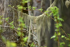 Usnea barbata, old man`s beard fungus on a pine tree. Branch stock photography