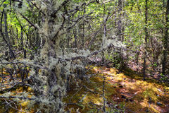 Usnea filamentous on tree branches Royalty Free Stock Image