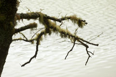 Usnea, old mens beard Royalty Free Stock Images