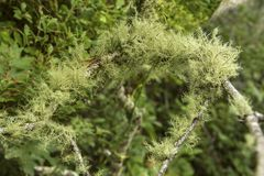 Free Usnea Lichen Draped Over Branches On Cape Cod, Massachusetts Stock Photo - 137077350