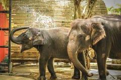 uso dell'elefante del bambino la sua acqua della spruzzata del tronco durante il bagno allo zoo Immagine Stock
