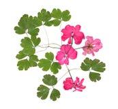Uso rosado aislado del geranio del flujo brillante acuciante secado Foto de archivo
