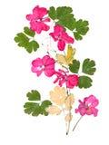 Uso rosado aislado del geranio del flujo brillante acuciante secado Imagen de archivo