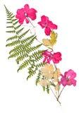 Uso rosado aislado del geranio del flujo brillante acuciante secado Imágenes de archivo libres de regalías