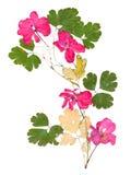 Uso rosado aislado del geranio del flujo brillante acuciante secado Fotos de archivo