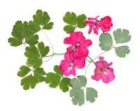 Uso rosado aislado del geranio del flujo brillante acuciante secado Foto de archivo libre de regalías