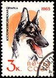 USSR - CIRCA 1965: portostämpeln som skrivs ut i USSR, visar en öst - europeisk herdehund, serie jakt och servicehundkapplöpning Fotografering för Bildbyråer