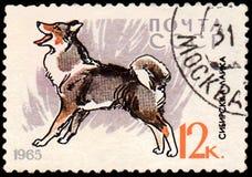 USSR - CIRCA 1965: portostämpeln som skrivs ut i USSR, visar en östlig Siberian Laika, serie jakt och servicehundkapplöpning Royaltyfria Bilder