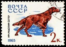 USSR - CIRCA 1965: portostämpeln som skrivs ut i USSR, visar en irländsk setter, serie jakt och servicehundkapplöpning Arkivbild