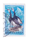 USSR - CIRCA 1972: A stamp printed in  shows Barnacle Goose Royalty Free Stock Image