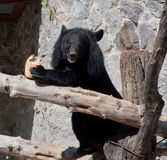 Ussuri black bear Stock Photography