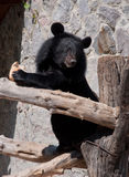 Ussuri black bear Royalty Free Stock Photos