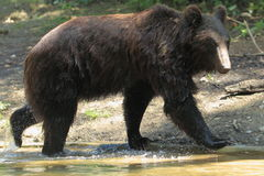 Ussuri brown bear. The ussuri brown bear strolling on the bank of the pond Stock Images