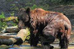 Ussuri brown bear Stock Photos