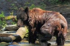 Ussuri brown bear. The ussuri brown bear strolling in water Stock Photos