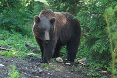 Ussuri brown bear. In a forest Royalty Free Stock Images