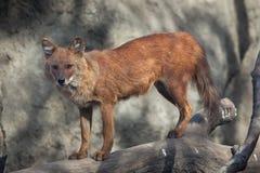 Ussuri dhole Cuon alpinus alpinus. Also known as the Indian wild dog Stock Photo