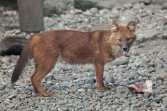 Ussuri dhole & x28;Cuon alpinus alpinus& x29;. Also known as the Indian wild dog Royalty Free Stock Photography
