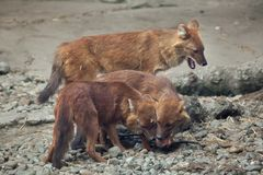 Ussuri dhole Cuon alpinus alpinus. Also known as the Indian wild dog Stock Photography