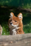 Ussuri dhole (Cuon alpinus alpinus). Stock Photography