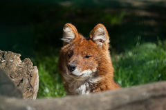 Ussuri dhole (Cuon alpinus alpinus). Ussuri dhole (Cuon alpinus alpinus), also known as the Indian wild dog. Wild life animal Stock Photography