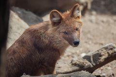 Ussuri dhole Cuon alpinus alpinus. Also known as the Indian wild dog Royalty Free Stock Image