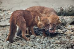 Ussuri dhole Cuon alpinus alpinus. Also known as the Indian wild dog Royalty Free Stock Images