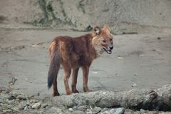 Ussuri dhole Cuon alpinus alpinus. Also known as the Indian wild dog Royalty Free Stock Photography