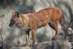 Ussuri dhole Cuon alpinus alpinus. Also known as the Indian wild dog Stock Photos