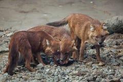 Ussuri dhole Cuon alpinus alpinus. Also known as the Indian wild dog Royalty Free Stock Photos