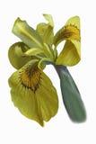 Ussuri iris flower. Iris maackii. Image of flower isolated on white background Stock Image