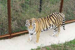 Ussuri tiger in aviary, Safari Park Taigan, Crimea. Ussuri tigress in aviary, top view, Safari Park Taigan, Crimea Royalty Free Stock Photo