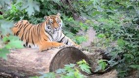 Ussuri tiger. Siberian tiger in the wild stock footage